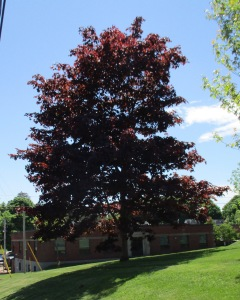 Red Maple on Main St.